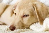 Sad puppy lying — Stock Photo