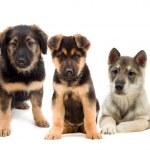 Puppies and kitten — Stock Photo #44451405