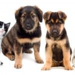 Puppies and kitten — Stock Photo #44451439