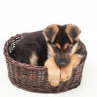 Cute puppy straw basket isolated on white background — Stock Photo #44452165