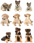 Puppy looks  — Stock Photo