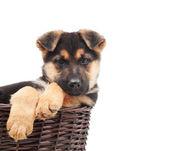 Puppy in a wicker basket — Stock Photo