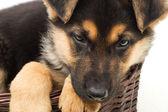 Portrait of a German Shepherd puppy — Stock Photo
