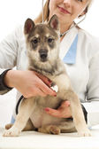 Husky puppy vet listening through a stethoscope — Stock Photo