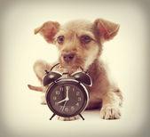 Puppy keeps teeth alarm clock — Stock Photo