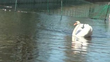 Bílá labuť na vodě. — Stock video
