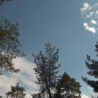 Trees Tops In Front Of Clear Blue Sky With One Cloud, Nature Background — Stock Video