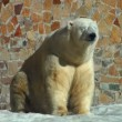Stock Video: Polar bear is heated on sun