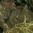 Stock Video: Family of field mice