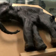 Stock Video: The mummy of the mammoth
