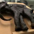 a múmia do mamute — Vídeo Stock