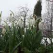 Snowdrops in the park — Stock Video #13218423