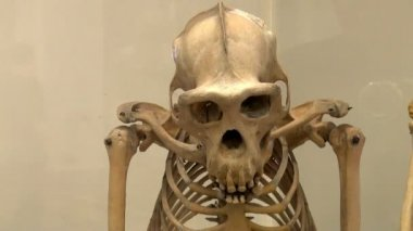 Human skeleton in a museum