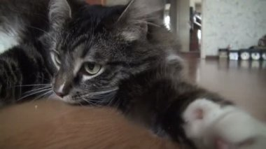Affectionate fluffy cat — Stock Video