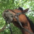 Stock Video: Horse chewed leaves of tree