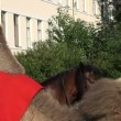 Stock Video: The trained camel sits on his knees