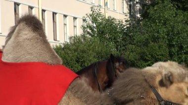 El camello entrenado se sienta en sus rodillas — Vídeo de stock