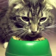 Stock Video: Cat eats forage