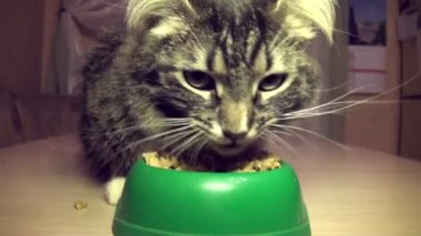 The cat eats a forage — Stock Video