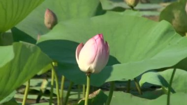 Green leaves and pink lilies — Stock Video