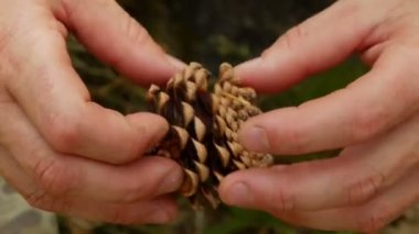 Pine cone in the hands of men — Stock Video