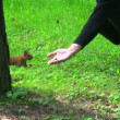 Stock Video: Feeding squirrel in forest