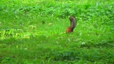 Squirrel running on grass — Stock Video