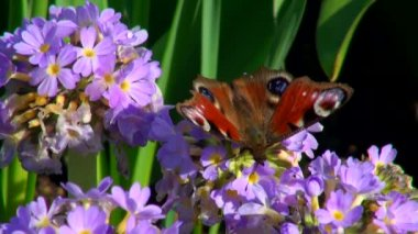 Flower and butterfly close up — Stock Video