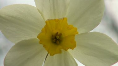 Daffodils Flower close up — Stock Video