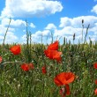 Poppies in a summer cornfield — Stock Photo