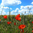 Stock Photo: Poppies in summer cornfield