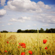 Cornfield with poppies - Stock Photo