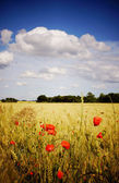 Cornfield with poppies — Stock Photo