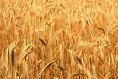 A field of wheat on a sunny day. — Stock Photo