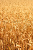 Wheatfield in the sunshine — Stock Photo