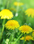 Yellow flowers on a green glade — Stock Photo