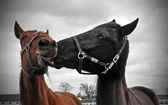 Horse's Affection — Stock Photo