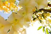 Brugmansia — Zdjęcie stockowe