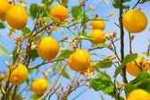 Lemons growing on lemon tree — Stock Photo