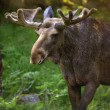 Moose in Sweden — Stock Photo