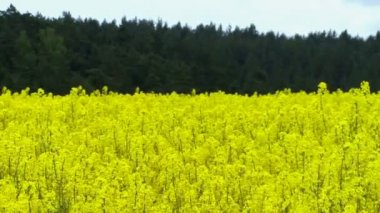 Shot of a field of rapeseed — Stock Video