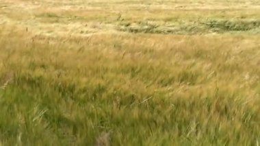 Grass on meadow blowing in breeze — Vídeo Stock