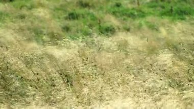 Grass on meadow blowing in breeze — Стоковое видео