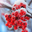 Frost-covered berries — 图库照片