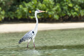 Grey Heron at the beach. Seychelles. — Zdjęcie stockowe