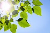 Branch green leafes in sunny day — Stock Photo