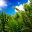 Green palm lush on blue sky background. — Stock Photo