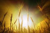 Wheat field under cloudscape — Stock Photo