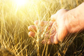 Female hand wins the ears of wheat.  The sunset. — Stock Photo