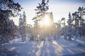 Winter forest. Sunrise, soft blue and pink tones. — ストック写真